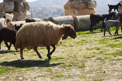 Goats & sheep. Cattle of goats and sheep herding in Jordan Royalty Free Stock Photos