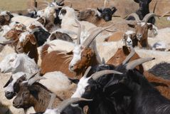 Goats and sheep in a cattle-pen in Central Mongolia Royalty Free Stock Photos
