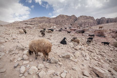 Goats and sheep in the desert. Herd of sheep and goats eating grass in Petra Stock Images