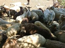 Goats and sheep enjoying the shade of the tree. In the middle of the summer royalty free stock photo