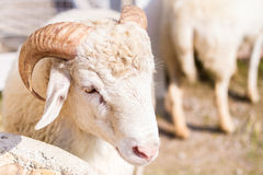 Goats and sheep in farm animals agriculture and nature Stock Photography