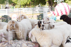 Goats and sheep in farm animals agriculture and nature Royalty Free Stock Photos
