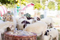 Goats and sheep in farm animals agriculture and nature Stock Photos