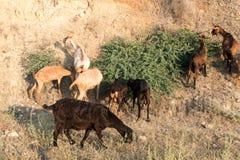 Goats and sheep farm animals Royalty Free Stock Photo