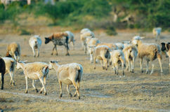 Goats and sheep in a field. After grazing, goats and sheep are running away. There`s some green trees in the background that are out of focus Royalty Free Stock Photography