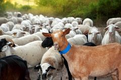 Goats and sheep herd flock outdoor track nature Royalty Free Stock Photos