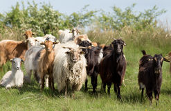 Goats and sheep portrait Royalty Free Stock Image