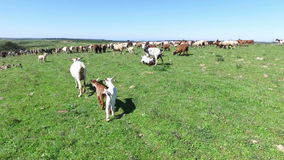 Goats and sheep in Portugal stock video