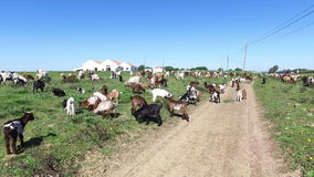 Goats and sheep in Portugal stock footage