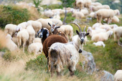 Goats and sheep together Royalty Free Stock Images