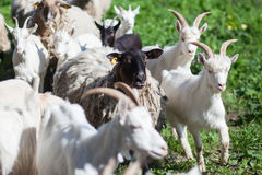 Goats and sheep Royalty Free Stock Photo