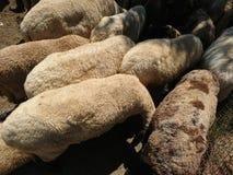 Goats and sheep wool texture. Beautiful goats and sheep wool texture in the summer sunlight stock image