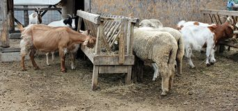 Goats and sheeps eating hay. At the farm (zoo Stock Photography