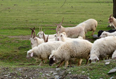 Goats and sheeps grazing in the field Stock Images