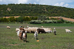 Goats and sheeps grazing in green field. Royalty Free Stock Photography