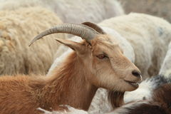 Goats and Sheeps Royalty Free Stock Photography