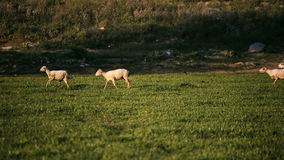 Goats and sheeps running. stock footage