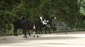 Goats on the side of the road. Herd of goats on the road in the mountains stock video footage