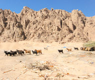 Goats of Sinai in Bedouin village. In Egypt Stock Photography