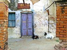 Goats sitting in front of door entrance, Rajshahi, Bangladesh. Blue door, white wall, black and white goat in Rajshahi royalty free stock photo