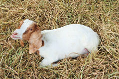 Goats sleep on straw Royalty Free Stock Image