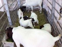 Goats in small pen Stock Photos