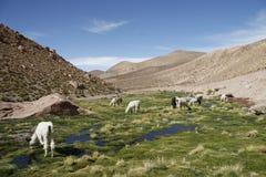 Goats. Some goats in the atacama desert in chile stock photos