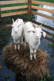 Goats stand on hays surrounded by water. Both of them look at camera. View from above Royalty Free Stock Photo