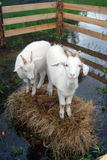 Goats stand on hays surrounded by water. One of them looks at camera. View from above Stock Images