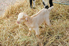 Goats stand on straw Royalty Free Stock Images
