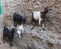 Goats stand on vertical wall of the house in ancient city of Jug Stock Photos