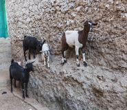 Goats stand on vertical wall of the house. Harar. Ethiopia. Royalty Free Stock Photo