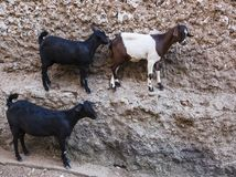 Goats stand on vertical wall of the house. Harar. Ethiopia. Stock Image