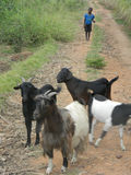 Goats standing in a  bush  path with herdboy. Stock Photo