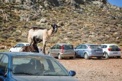 Goats standing on a car in an outside  parking lot in Crete Greece. Goats standing on a car in an outside  parking lot in Crete, Greece Stock Photos