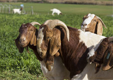 Goats standing in a green field Royalty Free Stock Images