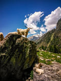 Goats standing on the rock. Beautiful view of Himalayan mountains, Kheerganga, Parvati valley, Himachal Pradesh, India. Goats standing on the rock. Beautiful Royalty Free Stock Images