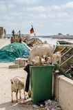 Goats standing in rubbish and trash and eating of it in African coastal town St Louis, Senegal, Africa stock image