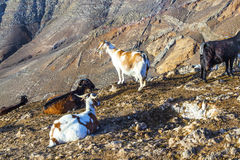 Goats standing on top of a mountain in Lanzarote Stock Photos