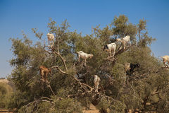 Goats standing in a tree. Goats eating Argan nuts on the road between Marrakesh and Essouira, Morroco Stock Image