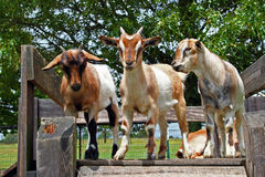 Goats standing on wooden board stock photos