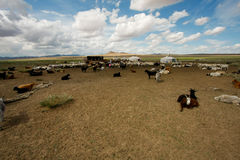 Goats on the steppes Stock Photography