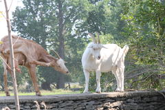 Goats on Stone Wall Royalty Free Stock Image