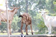 Goats on Stone Wall Stock Photo