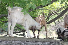 Goats on Stone Wall Stock Images
