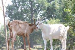 Goats on Stone Wall Royalty Free Stock Photos
