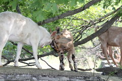 Goats on Stone Wall Royalty Free Stock Photography
