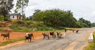 Goats on the streets on Cuba stock photography