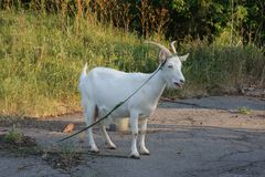 Goats on a summer day for a walk royalty free stock images