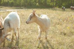 Goats on a summer pasture Stock Photography